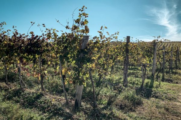 Kako mi je dan u berbi promenio pogled na vino